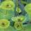 Dangers-of-Euphorbias