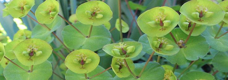 Bright green Euphorbias