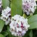 Daphne Odora Plant Care
