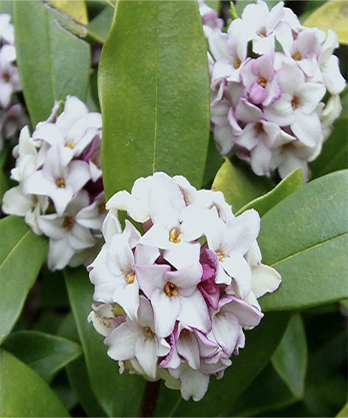 Daphne Odora How To Grow Propagate Maintain Daphne S In