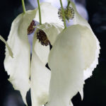 Davidia-Involucrata-Dove-Tree-Handkerchief-Tree-Pocket-Handkerchief-Tree-Ghost-Tree