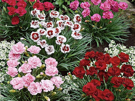 Mixed colours Dianthus Plants