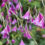 Dierama-fairy-fishing-rods