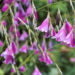Dierama Fairy Fishing Rod