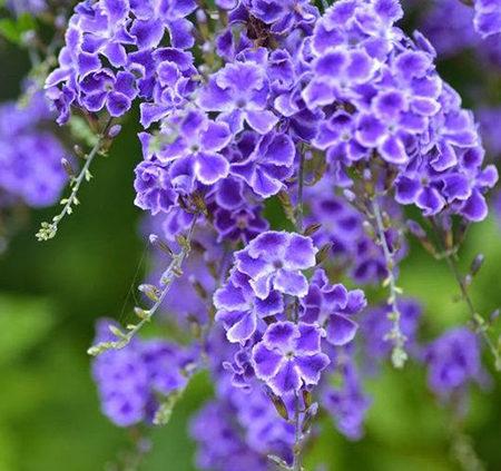 Duranta-repens-Geisha-Girl-flowering-shrub