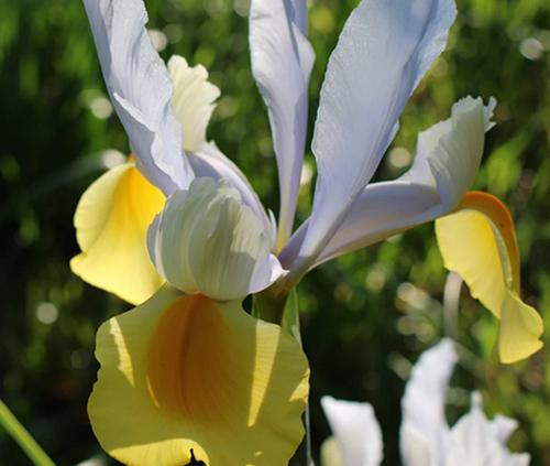 Dutch-Iris-spring-Bulbs