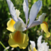 Dutch Iris Planting Guide