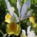Dutch Iris Planting Guide