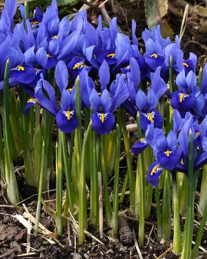 Dwarf-Iris-bulb-varieties