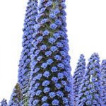 Echium Pininana purple flowers