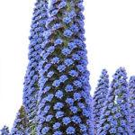 Echium Pininana purple flowers