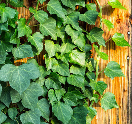 English-Ivy-plants-that-grow-on-walls