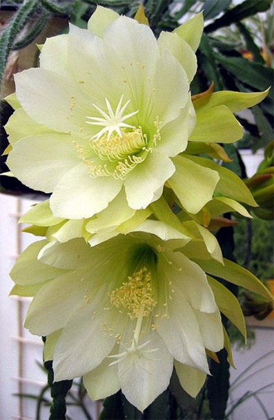 Epiphyllum-Epicacti-Daylilies-Flowers-Seeds