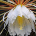 Epiphyllum How to Grow and Care