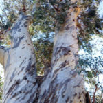 Eucalyptus-Gum-Tree-Facts