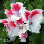 First-Blush-Regal-Pelargonium-Plant-Shrub