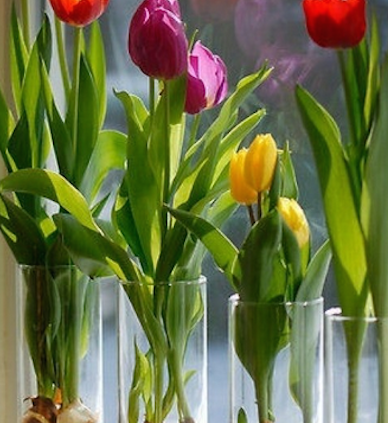 Forcing-Spring-flowering-bulbs-Indoors