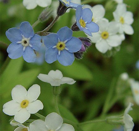 Forget-Me-–Not-Plants-self-seed-throughout-your-garden