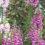 Foxgloves-in-my-garden