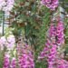 Foxglove Grow Plant Care