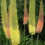 Foxtail-lily-Eremurus-robustus-plant-care