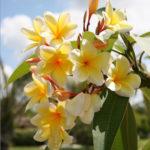 Frangipani-Trees-Long-Blooming-Fragrant