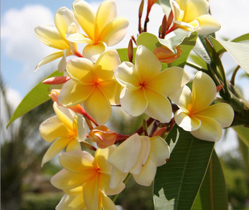 Frangipani-Trees-Long-Blooming-Fragrant