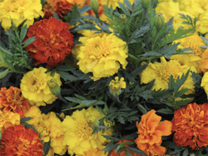 French Marigolds Tagetes patula