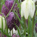 Fritillaria-Meleagris-species-