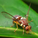 Fruit Fly Control for Gardeners