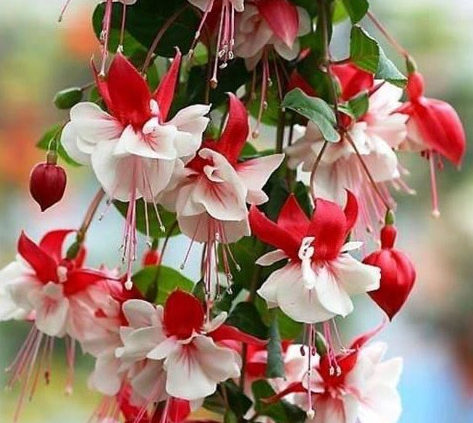 Fuchsia-Plant-Facts-from-Seed-to-Flowering