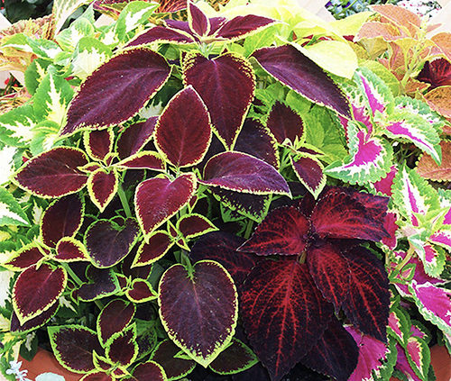 Garden-with-Coleus-Plants-or-use-as-Potted-Colour