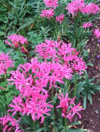 Gardening-with-Nerines