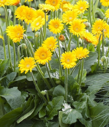 Dwarf Garvinea yellow Winter Hardy Gerbera