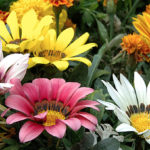 Gazanias Plants Dry Climate Gardens