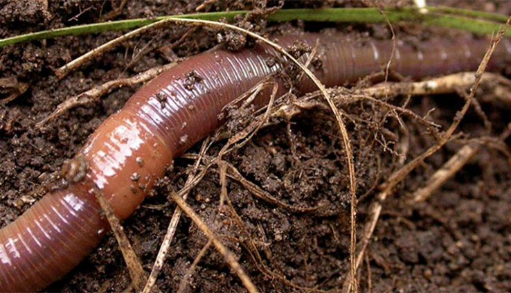 Earthworms in the Garden slithering along the ground