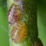 Get-Rid-of-Scale-Insects