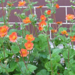 Geum-Avens-care-perennial-plants-for-the-home-gardeners-garden