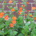 Geum Plants Grow Avens Varieties