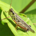 Grasshopper-garden-care-and-facts