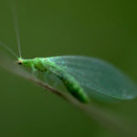 Green-Lacewing-predator-of-a-wide-range-of-garden-pests-including-aphids-whiteflies