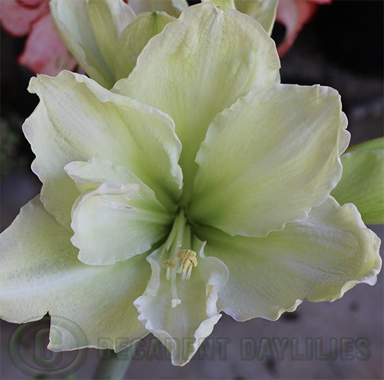 Green-double-hippeastrum