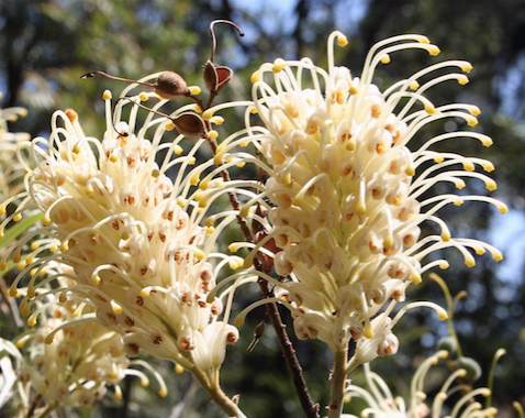 Grevillea banksii cream flower and seed pods