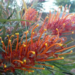 Grevilleas Australian Natives Plants