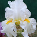 white TB-Iris-flowers with showy gold beards