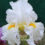 Groom-TB-Iris-flowers-standards-falls-foliage-for-showing
