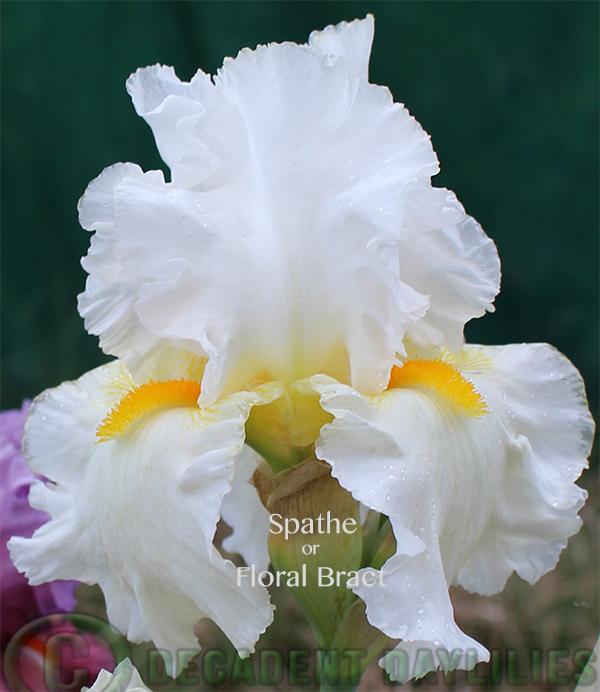 white TB-Iris-flowers with showy gold beards