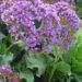 Statice Plant Propagation Care