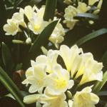 Yellow Clivias flowering