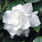 Growing-Gardenias-Epsom-Salts